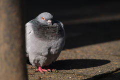 Portrait  of a beautiful relaxing pigeon. Stock Photography