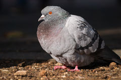 Portrait  of a beautiful relaxing pigeon. Royalty Free Stock Photos