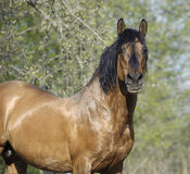 Portrait of the beautiful roan horse Royalty Free Stock Photography