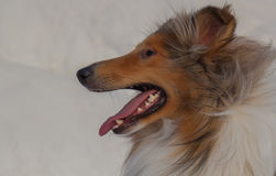 Portrait of a beautiful Rough-Collie dog Stock Photography