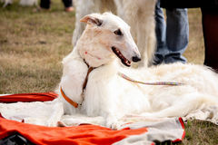 Portrait of beautiful russian wolfhound Royalty Free Stock Photography