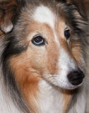 A Portrait of a Beautiful Sable Merle Sheltie Royalty Free Stock Photography