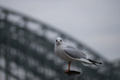 Portrait of a beautiful Seagull on a cloudy day Royalty Free Stock Photography