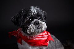 Portrait of a beautiful shih tzu dog Stock Photos