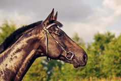 Portrait of beautiful shine sportive horse Stock Images