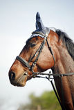 Portrait of beautiful show jumper horse in motion Stock Photo