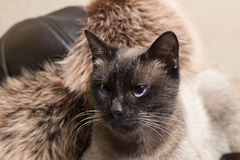 Portrait of a beautiful Siamese cat Royalty Free Stock Photo
