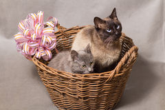 Portrait of a beautiful Siamese cat and gray kitten in a wicker basket Royalty Free Stock Photo