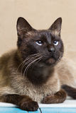 Portrait of a beautiful Siamese cat looking up Royalty Free Stock Image