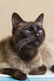 Portrait of a beautiful Siamese cat looking up Royalty Free Stock Photo
