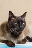 Portrait of a beautiful Siamese cat looking up Royalty Free Stock Images