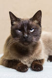 Portrait of a beautiful Siamese cat looking up Stock Photo