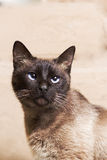 Portrait of a beautiful Siamese cat looking up Stock Photography