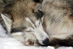 Sleeping Siberian Husky in snow royalty free stock photography