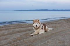 Portrait of beautiful siberian husky dog lying on sea front at sunset. Portrait of beautiful and free siberian husky dog lying on the sand on sea front at sunset stock image