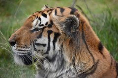 Portrait of a beautiful Sibirian Tiger in South Africa. Portrait of a beautiful orange striped Sibirian Tiger in South Africa royalty free stock image