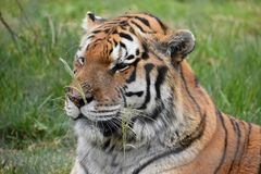 Portrait of a beautiful Sibirian Tiger in South Africa. Portrait of a beautiful orange striped Sibirian Tiger in South Africa stock photo