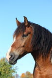 Portrait of beautiful skewbald horse Royalty Free Stock Photography