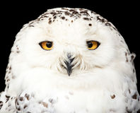 Portrait of a beautiful snow owl Royalty Free Stock Photos
