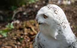 Beautiful Snowy Owl. A portrait of a beautiful Snowy Owl stock images