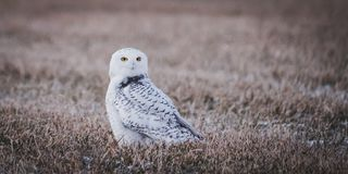 Portrait of a beautiful Snowy owl. A beautiful Snowy owl looking for a prey in a field on a winter day stock photo