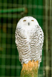 Portrait of a beautiful snowy owl Stock Photo