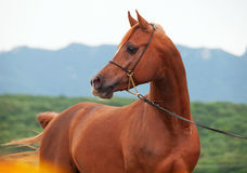 Portrait of beautiful sorrel arab. Royalty Free Stock Photography