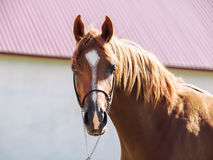 Portrait of  beautiful sorrel young arabian colt Stock Photo