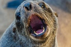 Portrait of beautiful South African fur seal at large seal colony, Cape Cross, Namibia, Southern Africa royalty free stock photo