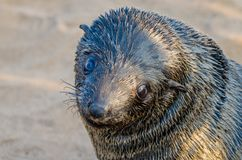 Portrait of beautiful South African fur seal at large seal colony, Cape Cross, Namibia, Southern Africa Royalty Free Stock Image