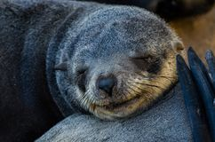 Portrait of beautiful South African fur seal at large seal colony, Cape Cross, Namibia, Southern Africa Stock Images