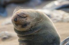 Portrait of beautiful South African fur seal at large seal colony, Cape Cross, Namibia, Southern Africa Royalty Free Stock Photos