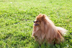 Portrait of a beautiful spitz-dog in summer day Royalty Free Stock Photo