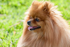 Portrait of a beautiful spitz-dog in summer day Stock Photo