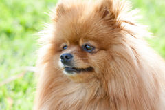 Portrait of a beautiful spitz-dog in summer day Stock Image