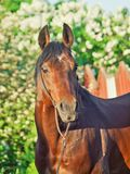 Portrait of beautiful sportive bay stallion Stock Photography