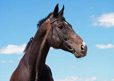 Portrait beautiful  stallion on background of blue sky Royalty Free Stock Images