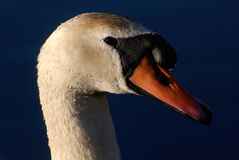 Portrait of a beautiful swan Stock Images