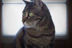 Portrait of a beautiful tabby cat Stock Image