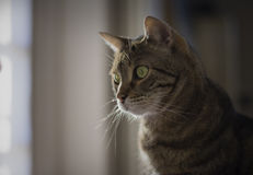 Portrait of a beautiful tabby cat Royalty Free Stock Photography