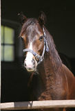 Portrait of beautiful thoroughbred horse in the stable. Stock Photos