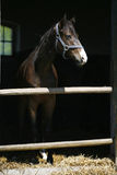 Portrait of beautiful thoroughbred horse in the stable. Stock Images