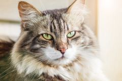 Portrait of a beautiful three-colored cat with green eyes and long fur. Close up, soft focus.  royalty free stock image