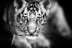 Portrait of a Beautiful Tiger cub. Tiger playing around Royalty Free Stock Photography