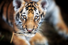 Portrait of a Beautiful Tiger cub. Tiger playing around Royalty Free Stock Image