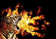 Portrait of a beautiful tiger. With flames over blck background Royalty Free Stock Photography
