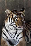 Portrait of a beautiful tiger. Over concrete wall Stock Photo