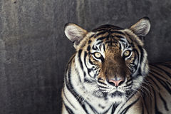 Portrait of a beautiful tiger. Over concrete wall Stock Images