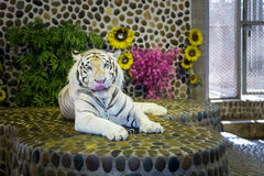 Portrait of a beautiful tiger Stock Photography