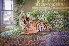 Portrait of a beautiful tiger Stock Photos